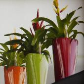 group-of-three-colourful-small-delta-pots-with-flowering-bromeliads1a1a1a1